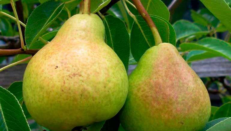 Cómo incorporar peras en la dieta