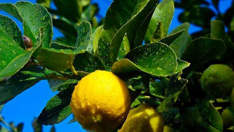 Datos rápidos sobre los limones