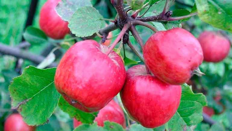 Posibles beneficios para la salud de las manzanas